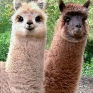 Look Out There Are Llamas